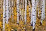 Crested Butte, Colorado, Aspen, Trees, Leaves, Gold Standard, Gold, Quaking Aspen, Trembling Aspen