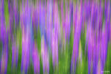 Two Harbors, Minnesota, Lupine, Intentional Camera Movement, Lupine Dreams