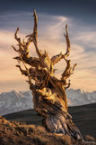 Ancient Bristlecone Pine Forest, Ancient, The Ancient, Bristlecone Pine, Forest, Bristlecone, California, White Mountains, Inyo National Forest, Pine, National Forest, Methuselah, Great Basin Bristlec