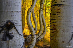 Colorado, Aspen Trees, San Juan Mountains, A New Dimension, Curved Aspen, Bent Aspen