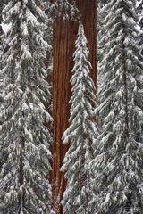 Sequoia National Park, Kings Canyon National Park, California, Among Giants