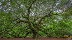Angel Oak, Johns Island, South Carolina, Live Oak Tree, Charleston, Angel Wings