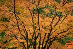 Portland Japanese Garden, Portland, Oregon, Japanese Maple Tree, Dreamcatcher