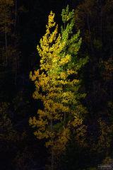 Ouray, Colorado, Entwined, Million Dollar Highway, San Juan Mountains, Aspen Trees
