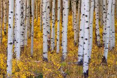 Crested Butte, Colorado, Aspen Trees, Leaves, Gold Standard
