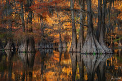 Caddo Lake, Texas, Golden Glory, Bald Cypress