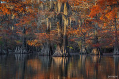 Caddo Lake, Texas, Last Light, Cypress Knee, Cypress Tree, Swamps