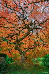Portland Japanese Garden, Portland, Oregon, Japanese Maple, Tree, Living Legend