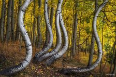 Colorado, Resilience, Aspen Trees, Quaking Aspen, Trembling Aspen, San Juan Mountains, Curved Aspen, Bent Aspen