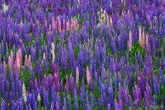 Two Harbors, Minnesota, Lupine, Flower, Scent of Summer