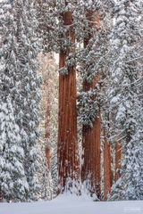 Sequoia National Park, Kings Canyon National Park, California, Standing Still