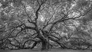 Angel Oak, Johns Island, South Carolina, Live Oak Tree, Charleston, Angel Wings, Black and White, Monochrome
