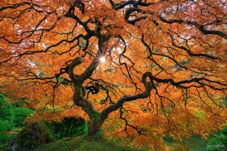 Portland Japanese Garden, Portland, Oregon, Japanese Maple Tree, Beacon of Hope