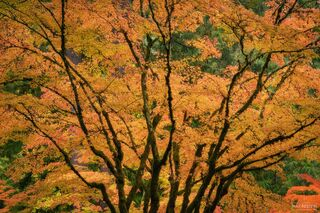 Portland Japanese Garden, Portland, Oregon, Japanese Maple Tree, Dreamcatcher