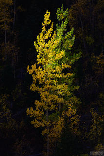 Ouray, Colorado, Entwined, Million Dollar Highway, San Juan Mountains, Aspen Trees