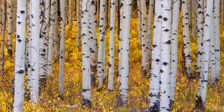 Crested Butte, Colorado, Aspen Trees, Leaves, Gold Standard, Panoramic