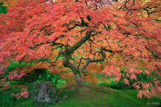 Portland Japanese Garden, Portland, Oregon, Japanese Maple Tree, Sunbrella