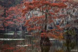 Caddo Lake, Texas, Tapestry of the South, Spanish Moss, Bald Cypress, Louisiana