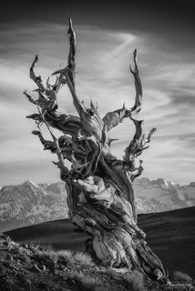 Ancient Bristlecone Pine Forest, The Ancient, California, White Mountains, Inyo National Forest, Methuselah, Great Basin, Black and White, Monochrome