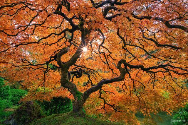 Portland Japanese Garden, Portland, Oregon, Japanese Maple Tree, Beacon of Hope