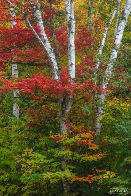 Groton State Forest, Vermont, Groton, Fall, Autumn, Birch Lane, Birch, Trees, Leaves, Forest, Paper Birch