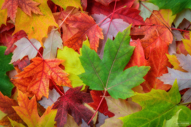 Minneapolis, Minnesota, Colorfall, Fall, Color, Leaf, Green, Chlororphyll, Autumn, Changing