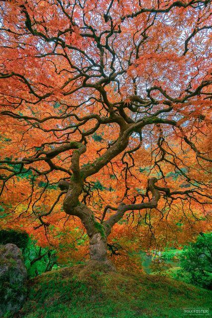 Portland Japanese Garden, Portland, Oregon, Japanese Maple, Tree, Living Legend