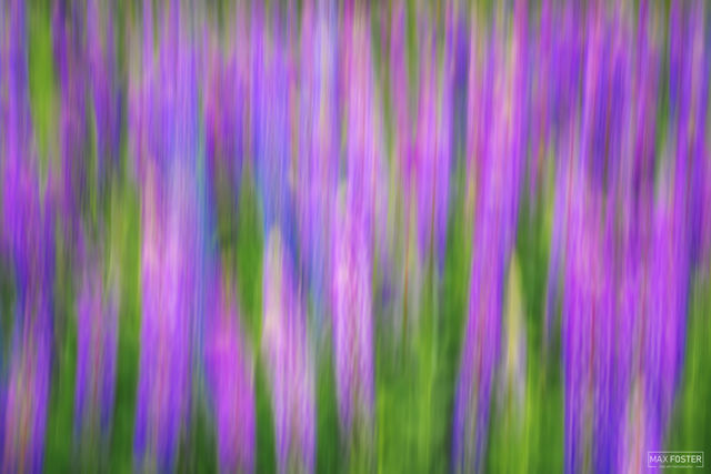 Two Harbors, Minnesota, Intentional Camera Movement, Lupine Dreams