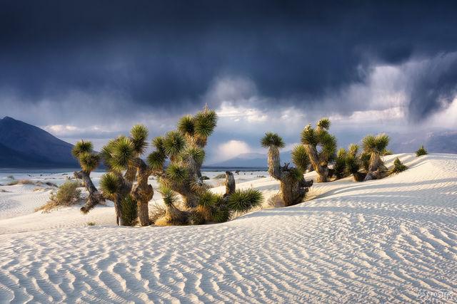 Mojave Desert, California, Overtaken, Joshua Trees