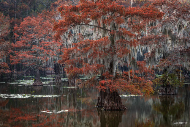 Caddo Lake, Texas, Caddo, Lake, Tapestry of the South, South, Tapestry, Spanish Moss, Moss, Trees, Bald Cypress, Cypress, Swamps, Southeastern