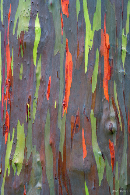 Rainbow Trees, Kauai, Hawaii, Eucalyptus, multi-colored bark, True Colors