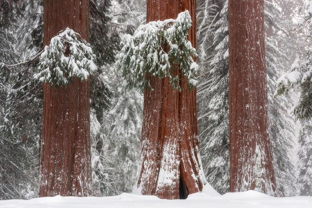 Sequoia National Park, Kings Canyon National Park, California, Giant Sequoia, Sierra Nevada, We Three Kings