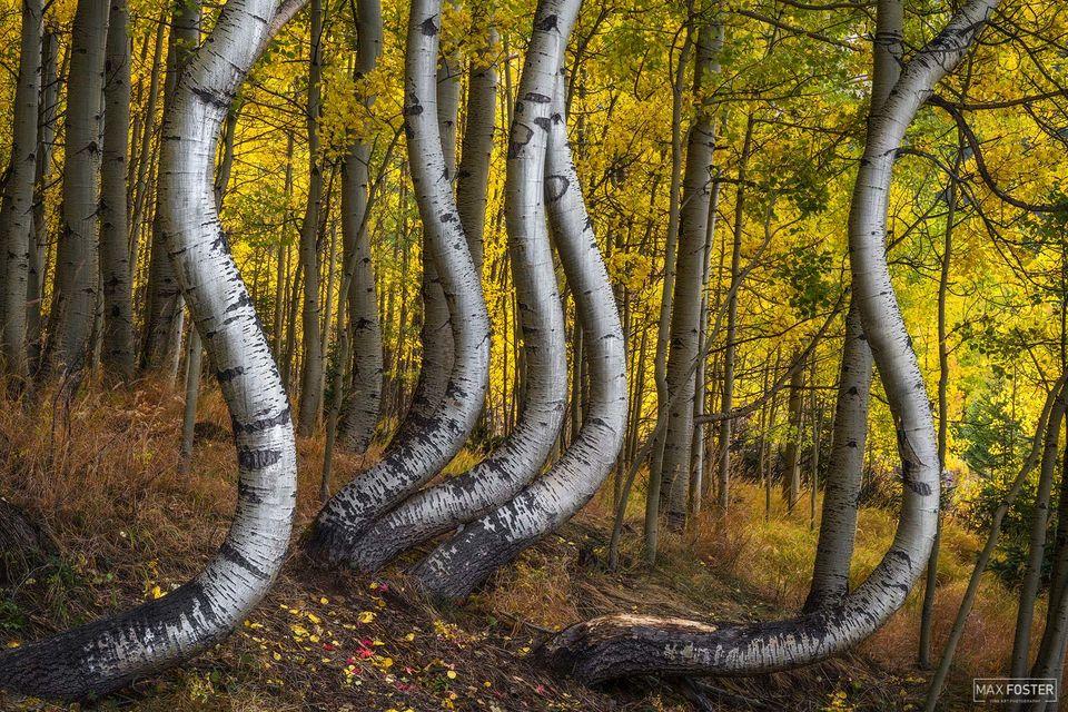 Colorado, Resilience, Aspen Trees, Quaking Aspen, Trembling Aspen, San Juan Mountains, Curved Aspen, Bent Aspen