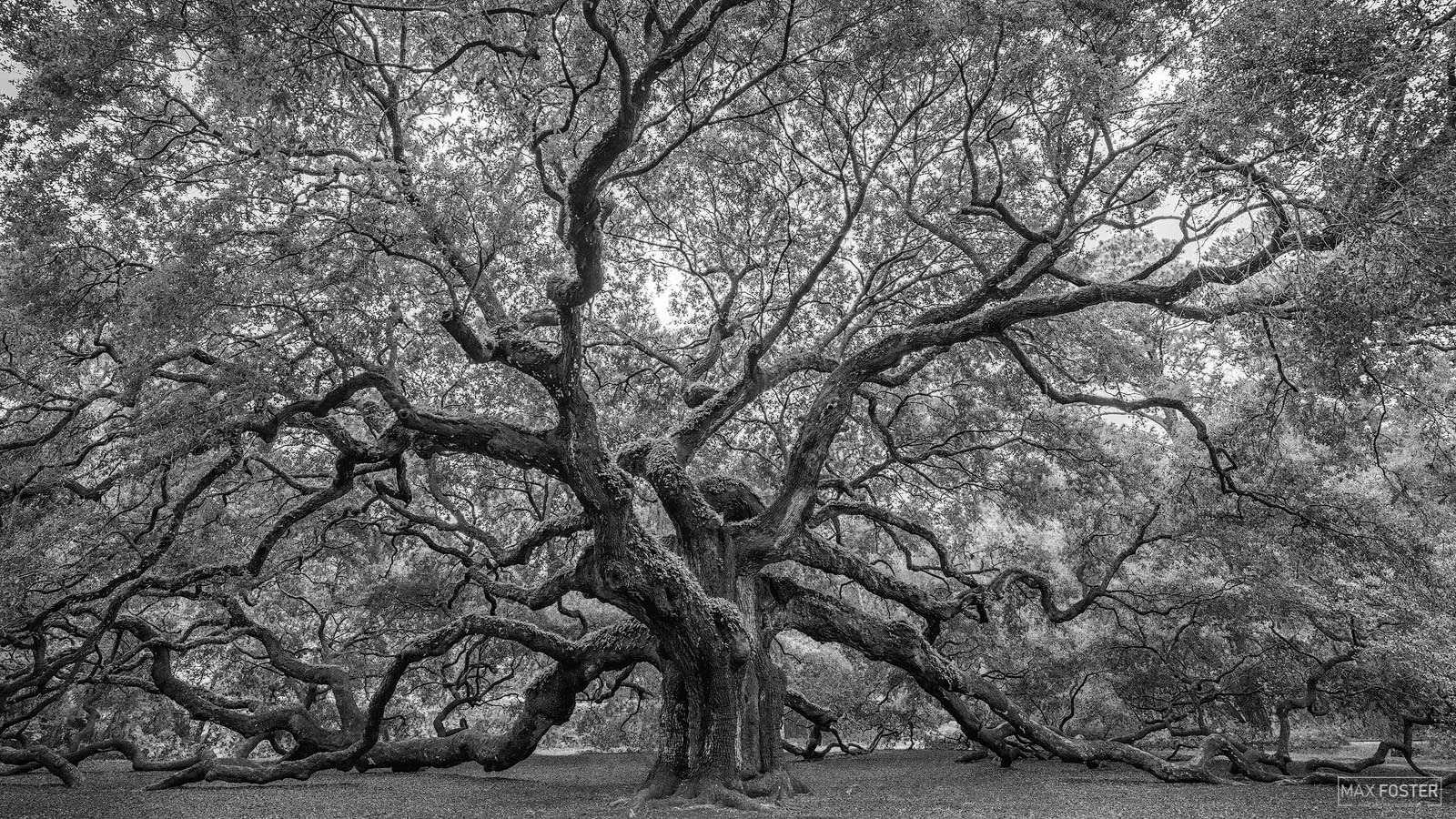 Fine Art Limited Edition of 100 The black and white or monochrome version of Angel Wings, a famous live oak in Angel Oak Park...