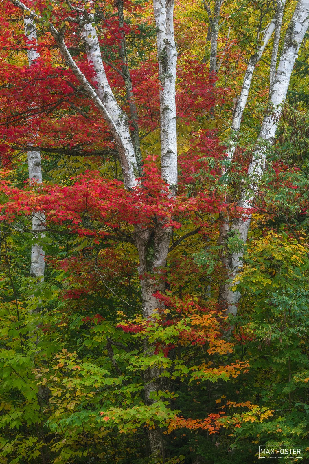 Groton State Forest, Vermont, Fall, Autumn, Birch Lane, Trees, Leaves, Forest, Paper Birch, photo