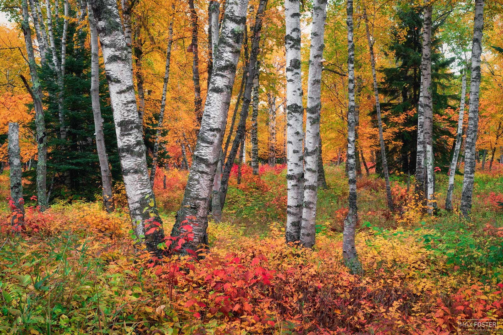 Fine Art Limited Edition of 100 Birch Trees are thin-leaved deciduous hardwood trees that are typically short-lived pioneer species...