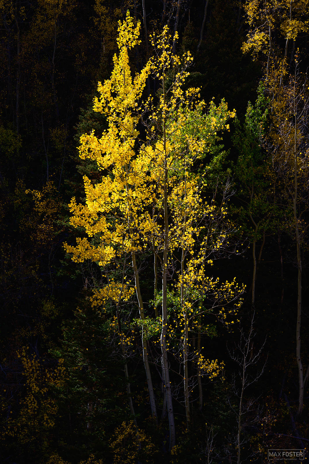 Ouray, Colorado, Gold Dust, Colorado Mineral Belt, Aspen Trees, photo