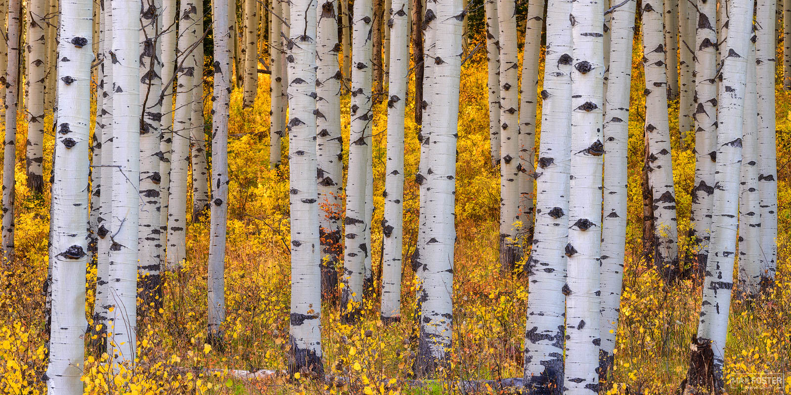 Fine Art Limited Edition of 50 The panoramic or pano version of Gold Standard, taken of a stand of Aspen Trees in Crested Butte...