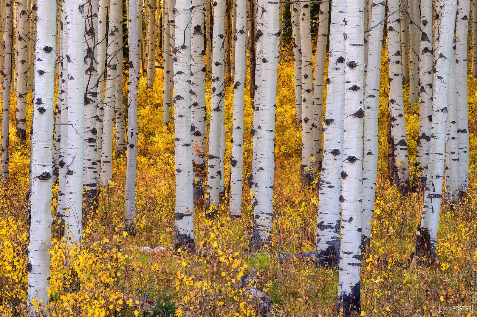 Crested Butte, Colorado, Aspen Trees, Leaves, Gold Standard, photo