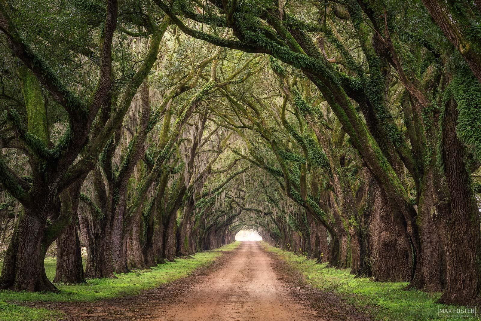 Evergreen Plantation, Edgard, Louisiana, If Trees Could Talk, Tree Tunnel, photo