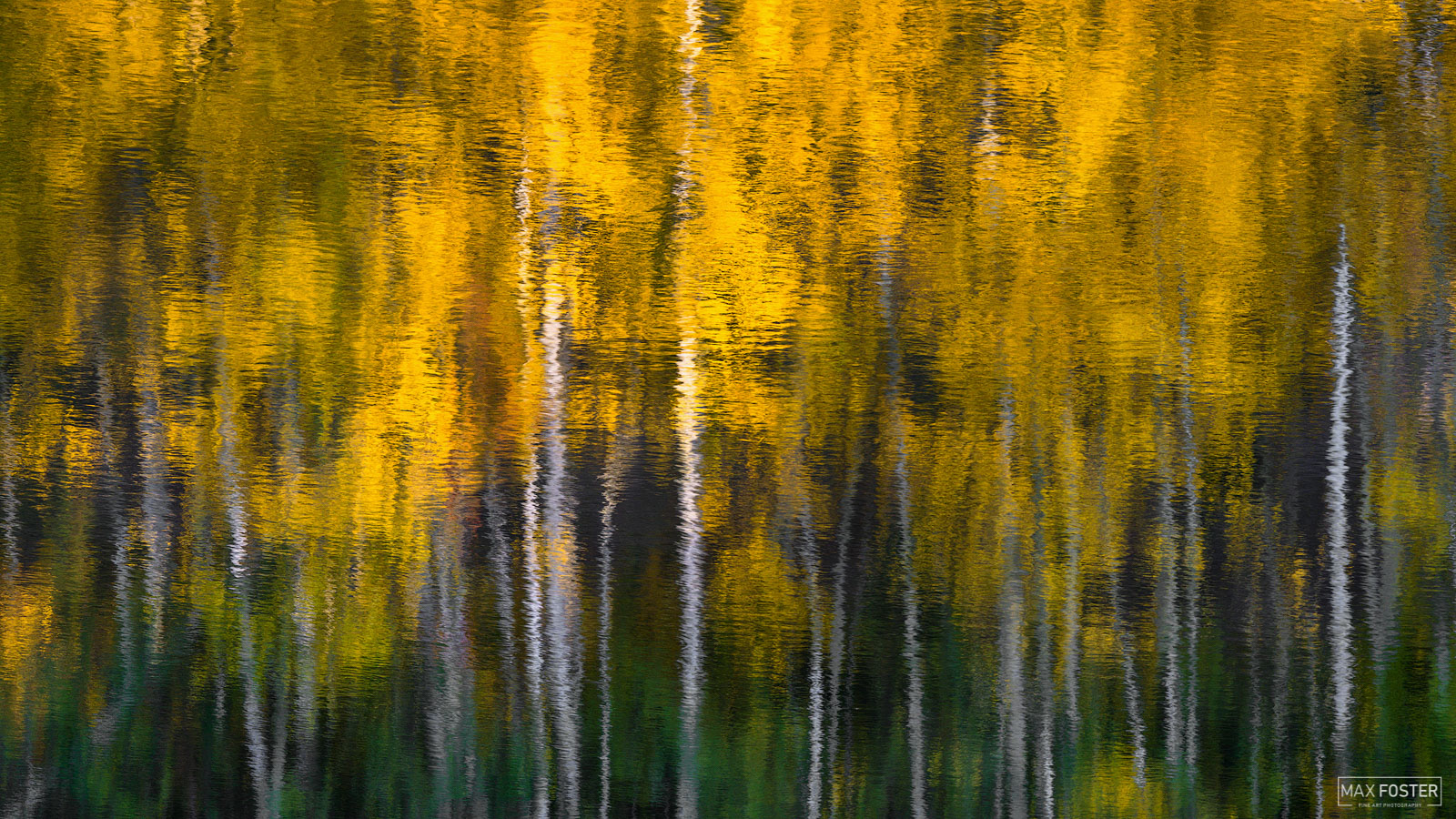 Fine Art Limited Edition of 50 Aspen trees typically grow in environments that are otherwise dominated by coniferous tree species...