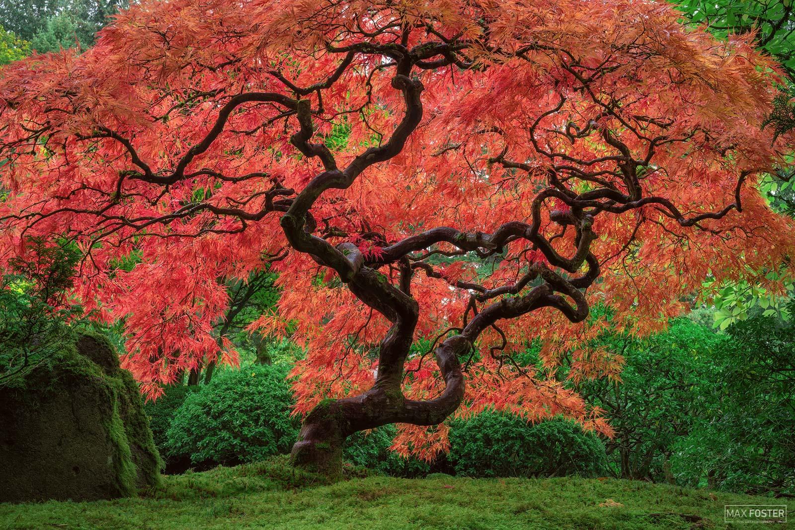 Portland Japanese Garden, Portland, Oregon, Japanese Maple Tree, Medusa, photo