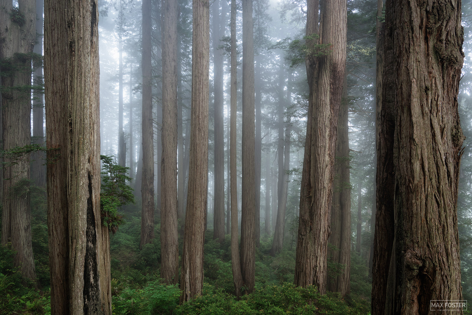 Fine Art Limited Edition of 50 In 1850, old-growth redwood forest covered more than 2,000,000 acres of the California coast....