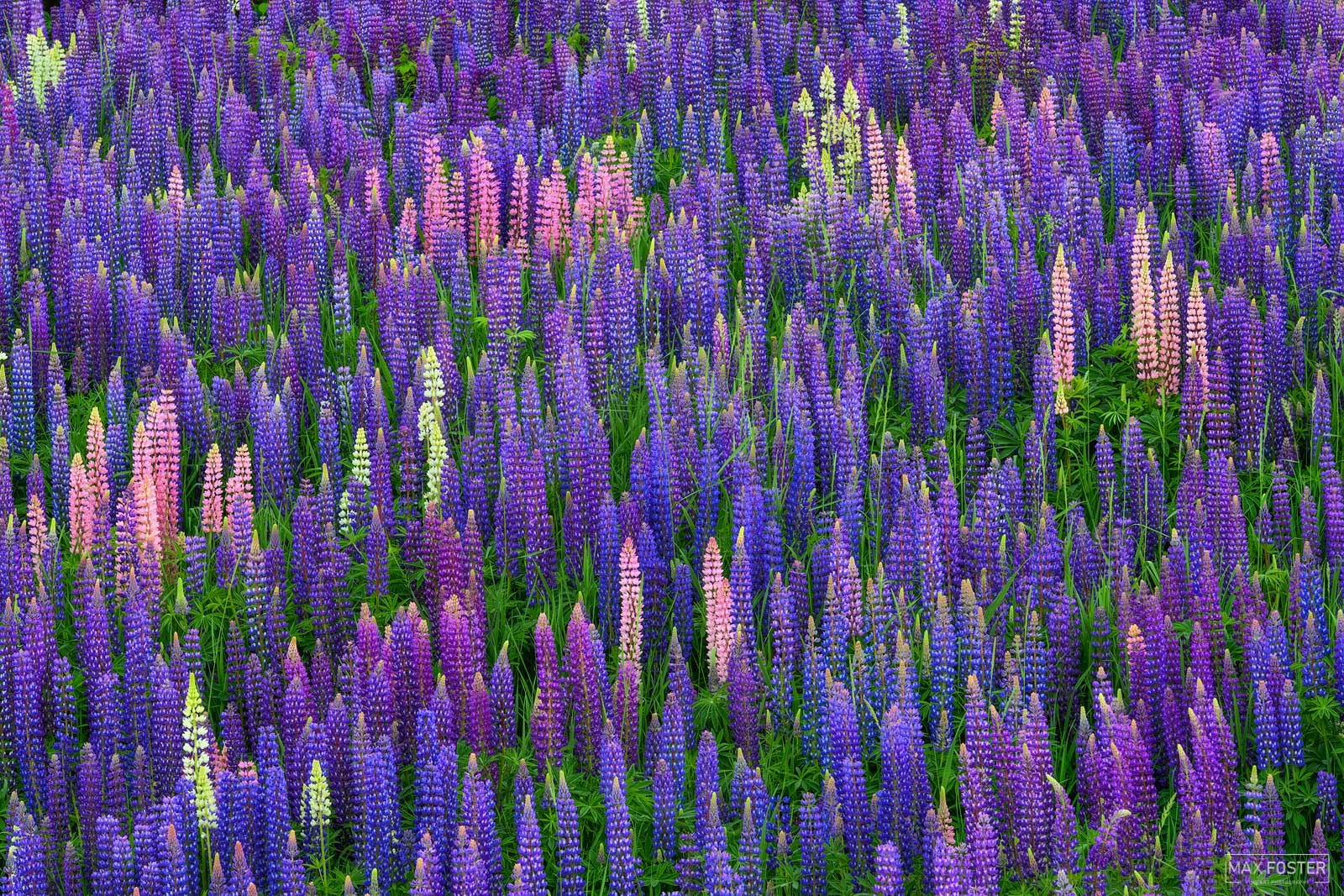 Fine Art Limited Edition of 50 Lupinus, commonly known as lupin or lupine, is a genus of flowering plants in the legume family...