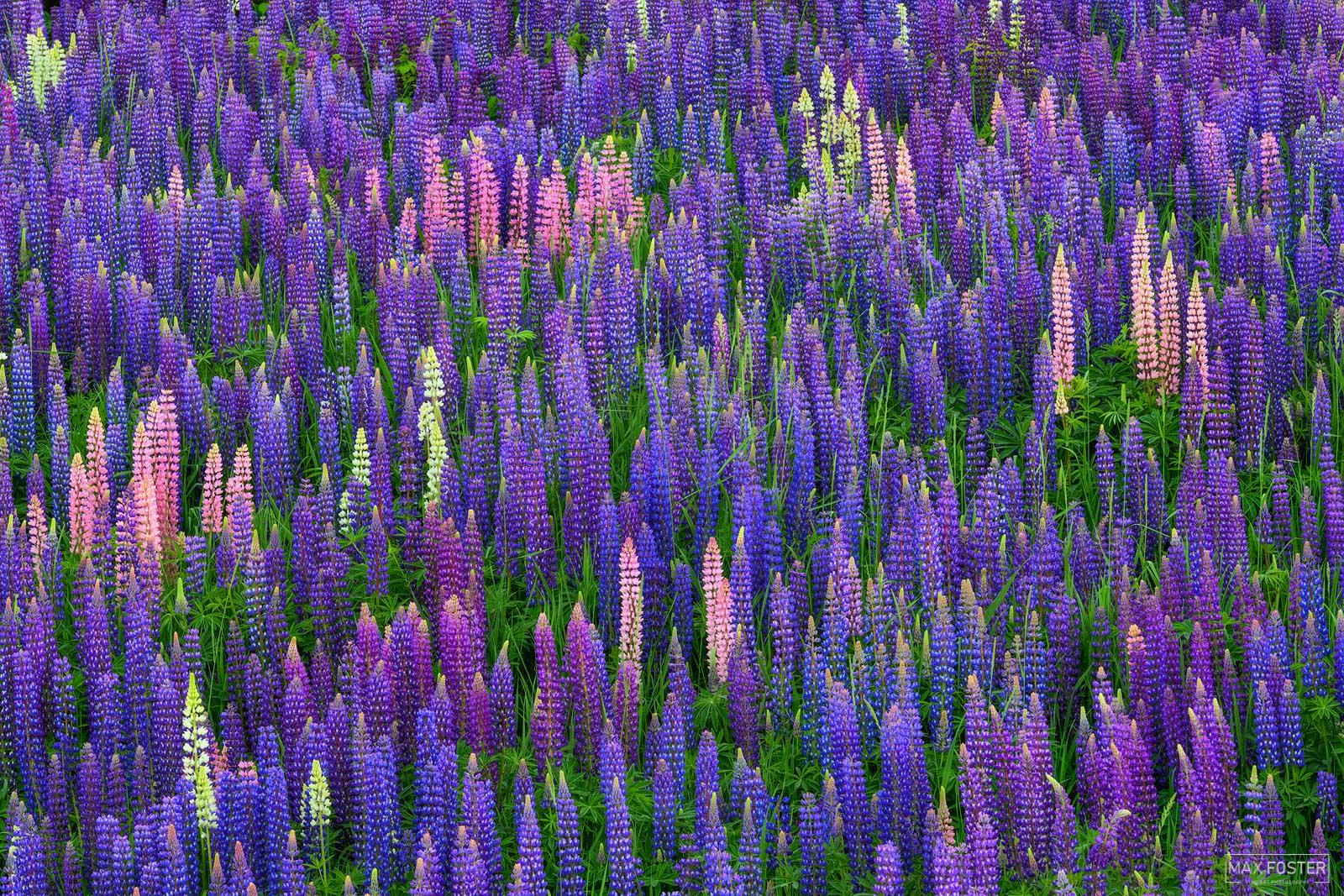 Two Harbors, Minnesota, Lupine, Flower, Scent of Summer, photo