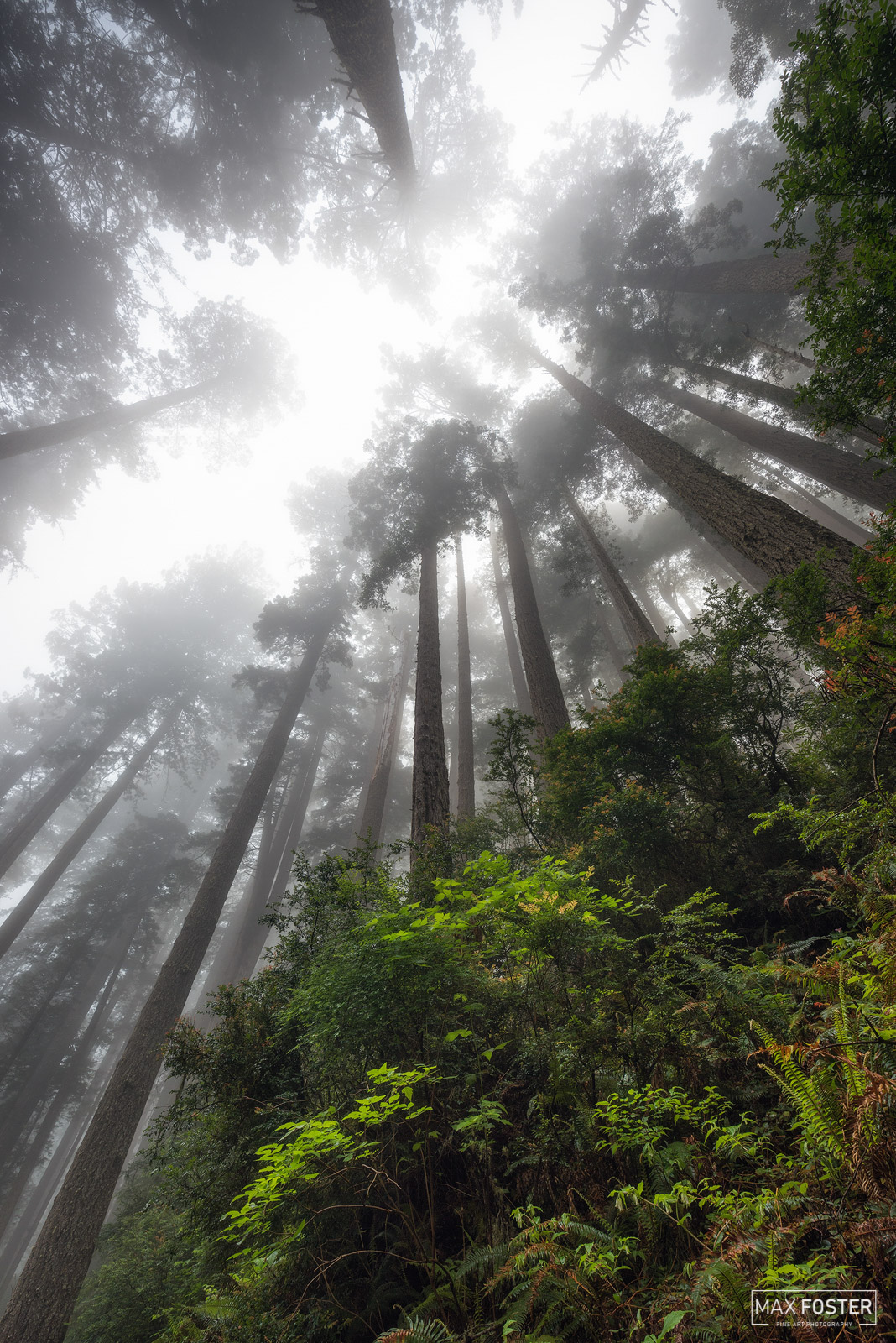 Fine Art Limited Edition of 50 The Redwood National and State Parks (RNSP) are a complex of several state and national parks...